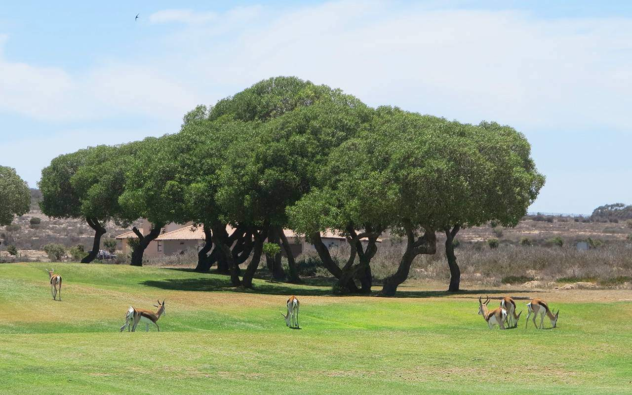 springbuck på golfbanan under long stay golf sydafrika | Sunbirdie